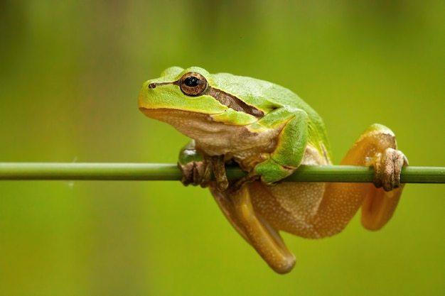 Struggling european tree frog holding on grass blade in wetland.