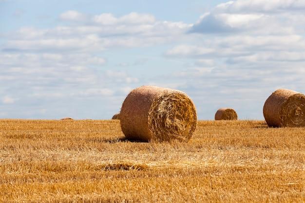 田舎のライ麦からの無精ひげ