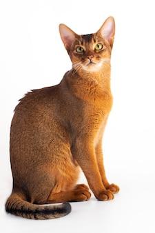 白い背景の上の若いアビシニアン猫のスタジオ猫の肖像画