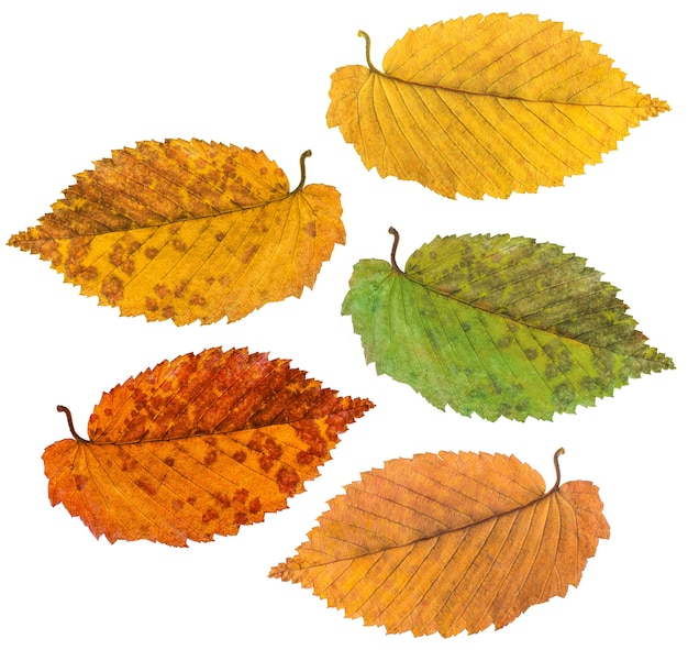 Studio photography autumn leaves on a white background