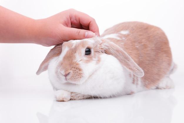 Studio photos of a red bunny
