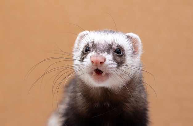 Studio portrait of adult ferret male isolated on background
