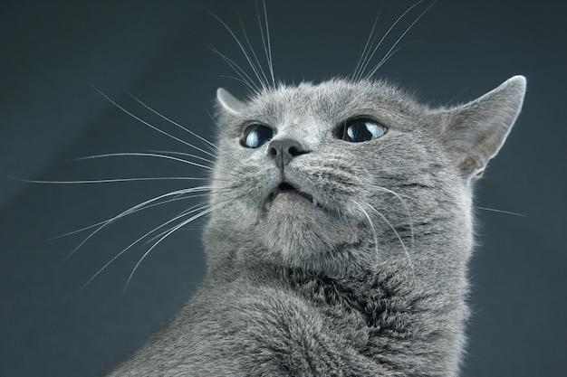 Studio portrait of a beautiful grey cat on dark background. pet mammal animal predator