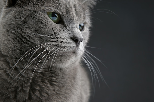 Studio portrait of a beautiful grey cat on dark