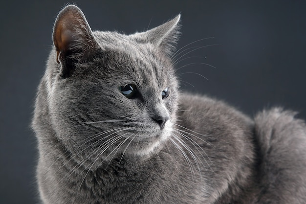 Studio portrait of a beautiful grey cat on grey background