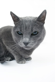 Studio portrait of a beautiful grey cat isolated on white