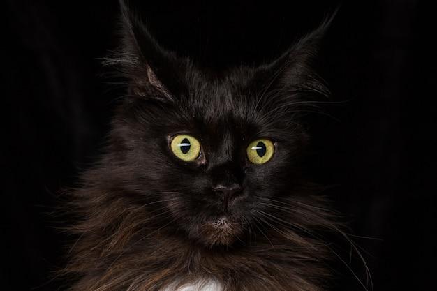 Studio portrait of a beautiful maine coon cat