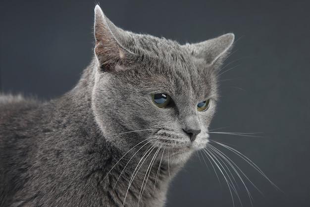 회색 바탕에 아름 다운 회색 고양이의 스튜디오 초상화