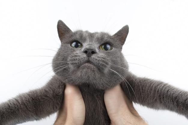 白い背景の上の美しい灰色の猫のスタジオポートレート