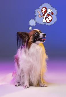 Студийный портрет маленькой зевая щенок papillon на синем фоне студии. понятие мечты о собаке