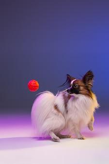 小さなあくびの子犬パピヨンのスタジオポートレート