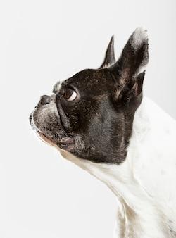 중립적인 배경에 대해 표현력이 뛰어난 프렌치 불독 강아지의 스튜디오 초상화