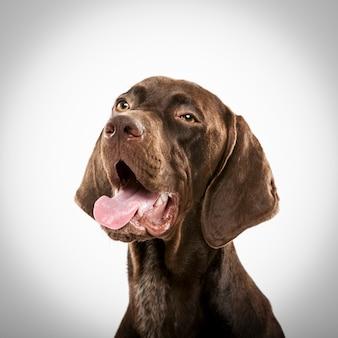 Студийный портрет выразительной немецкой короткошерстной пойнтер-собаки на белом фоне