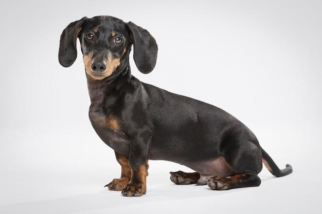 白い背景の表現力豊かなteckel犬のスタジオポートレート