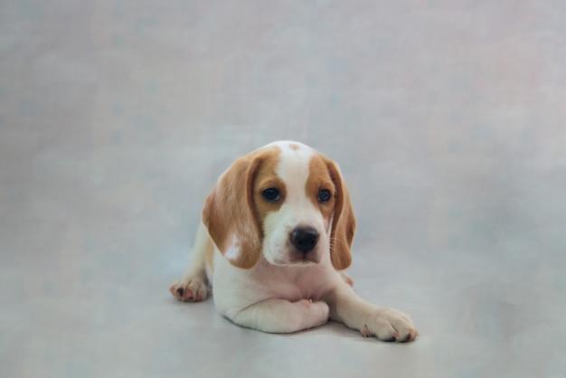 작은 순종 비글 강아지 애완 동물의 스튜디오 초상화는 회색 벽에 누워 졸려 보인다