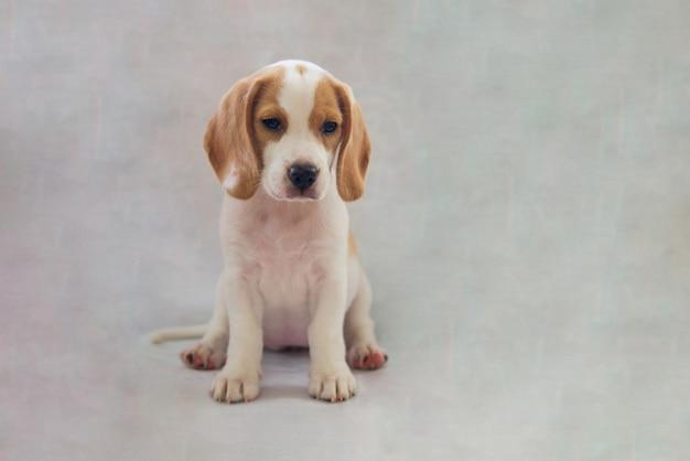 작은 순종 비글 강아지 애완 동물의 스튜디오 초상화는 회색 벽에 앉아 졸려 보인다