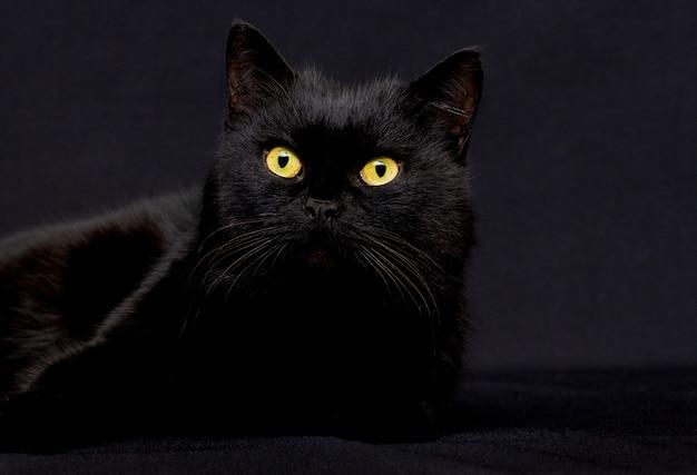 控えめなキーで暗い背景にリラックスした濃い灰色の猫のスタジオポートレート