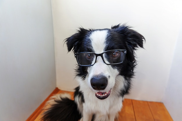 Studio portrait of smiling puppy dog border collie in eyeglasses on white wall at home. little dog gazing in glasses indoor. back to school. cool nerd style. funny pets animals life concept.