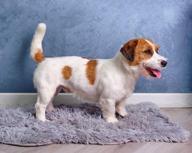 Studio shot of an adorable jack russell terrier lying on blue carpet