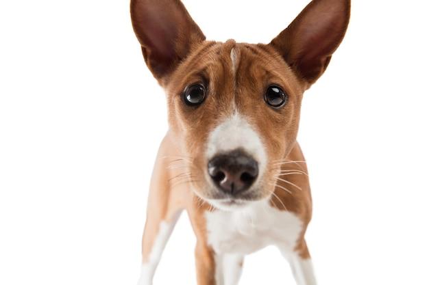 Studio shot del cane basenji isolato su bianco