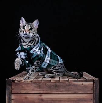 Studio shot of a bengal cat in a plaid shirt on a wooden crate