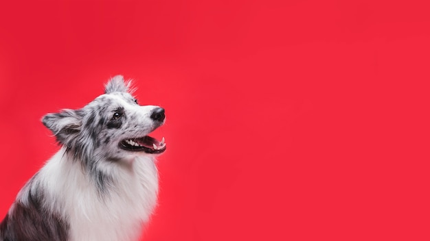 Studio shot of cute border collie dog