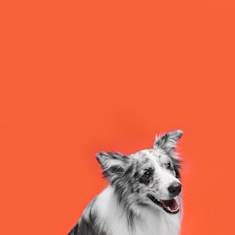 Studio shot of cute border collie dog