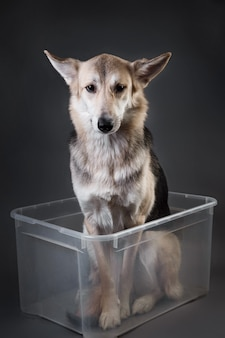 Studio shot of cute mixed breed husky dog sitting in transparent plastic container and waiting