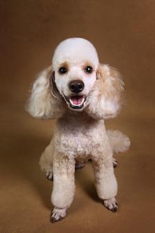 Studio shot of miniature poodle dog on brown background