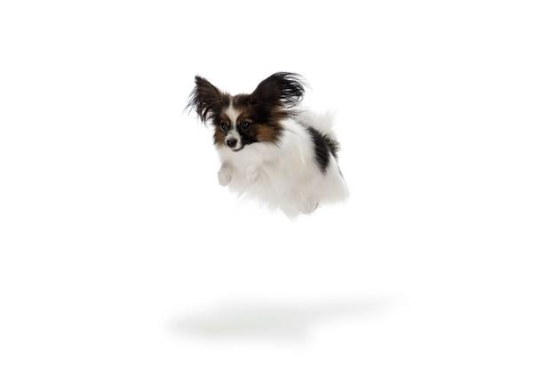 흰색 스튜디오 배경에 고립 된 basenji 강아지의 스튜디오 샷