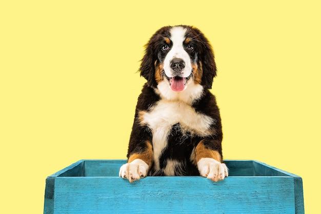 노란색 스튜디오 배경에 berner sennenhund 강아지의 스튜디오 샷