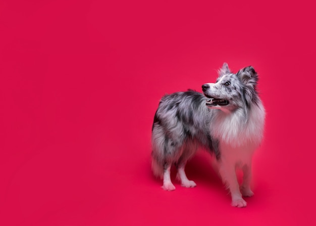 귀여운 보더 콜 리 강아지의 스튜디오 샷