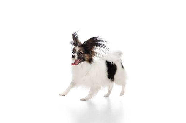 흰색 스튜디오 배경에 고립 된 재미있는 빠삐용 강아지의 스튜디오 샷