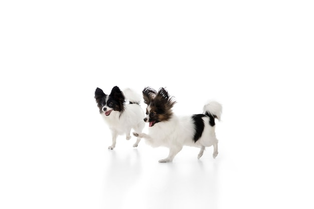 Студийный снимок смешных собак papillon, изолированные на белом фоне студии