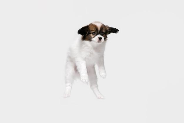 흰색 스튜디오 배경에 고립 된 빠삐용 타락한 작은 강아지의 스튜디오 샷