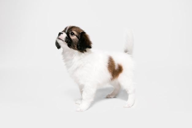 흰색에 고립 된 빠삐용 타락한 작은 강아지의 스튜디오 샷