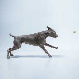 파란색 스튜디오 배경에 격리된 바이마라너 강아지의 스튜디오 샷