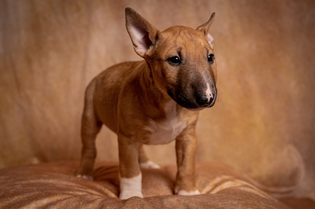 Studio of a standing brown miniature bull terrier puppy against a brown background