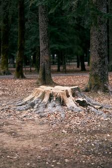 나무와 낙엽 사이의 숲에서 이끼로 덮인 큰 쓰러진 나무의 그루터기