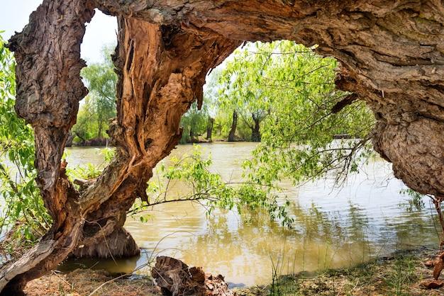 水に木の根を持つ古い木の切り株