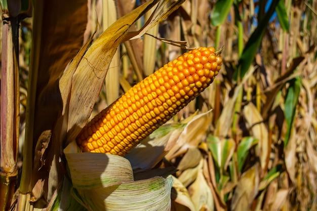 Кукурузный пень, полный зерна в поле.