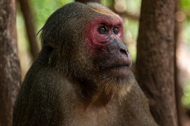 Stump tailed macaque, bear macaque (macaca arctoides)