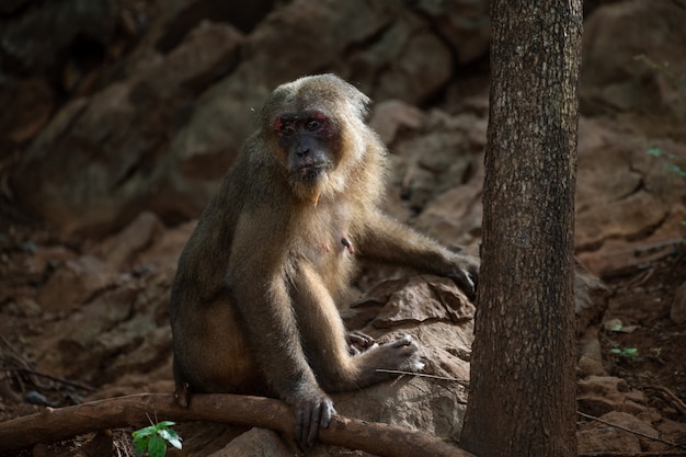 Stump tailed macaques resting on the rock in forest, thailand