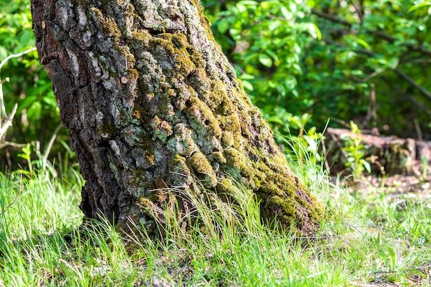 秋の森のコケの切り株。古い針葉樹林、美しい風景の苔で覆われた切り株。緑の自然の概念