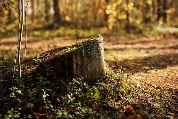가 숲, 자연 배경에서 이끼와 그루터기.