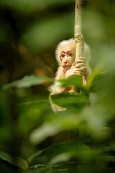 美しいインドのジャングルの緑のジャングルの野生の猿の赤い顔のベニガオザル