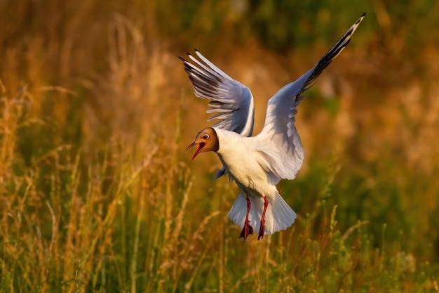 Потрясающая черноголовая чайка с открытым клювом приземляется над колонией водно-болотных угодий летом