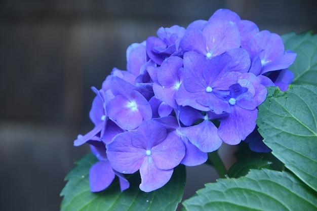 夏に咲く見事な紫色のアジサイの花。