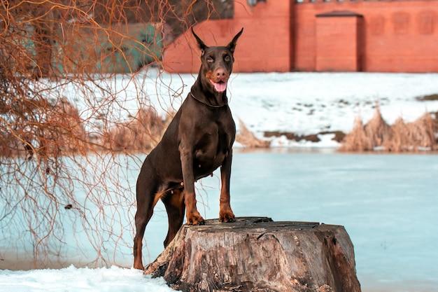 冬の湖の近くの見事な茶色のドーベルマン犬