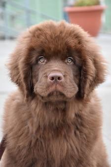 Splendido cucciolo di cane terranova marrone da vicino
